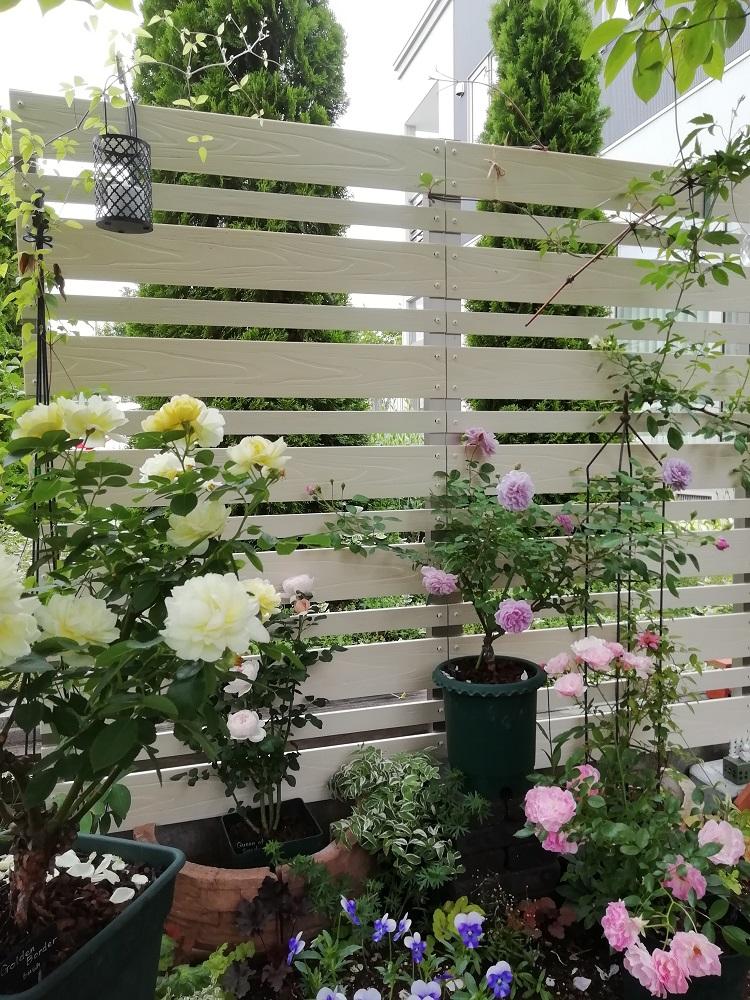 薔薇と表面仕上げエレガント/ホワイトフェンスは好相性